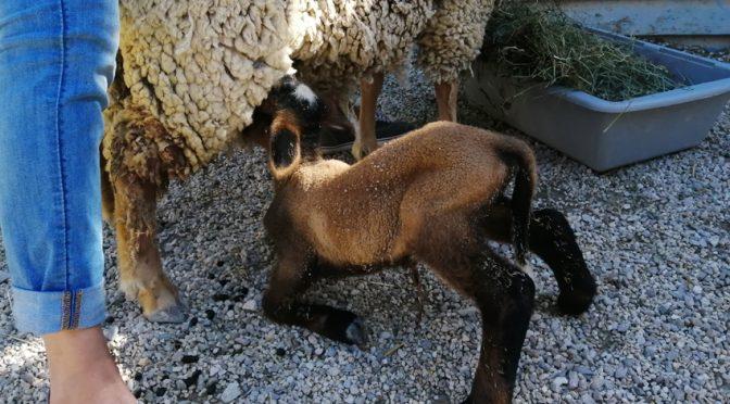 Naissance chèvre